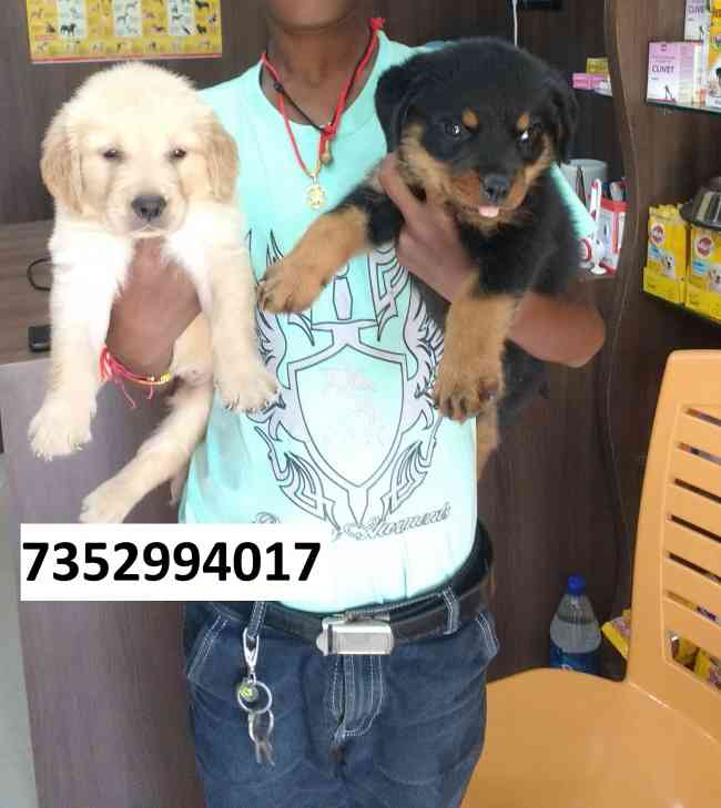 pet puppies dogs at 7352994017