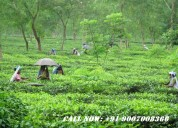 Best consulting service for tea garden sale
