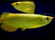 24k golden arowana for sale