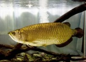 Cross back arowana fish