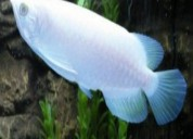 Platinum white arowana fish