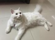 Buy persian kittens online