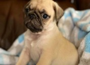 Pugs for sale, pug puppy for sale near me