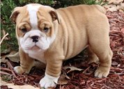 Awesome english bulldog  ready for adoption