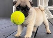 Pug puppy for sale, pug puppies for sale