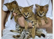 Caracal kittens and bengal kittens available for n