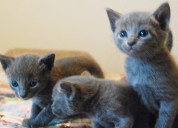 Russian blue kittens for salr