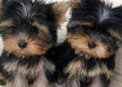 Holly yorkie puppies arena