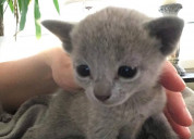 Adorable russian blue kittens ready to go to their