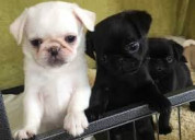 Pug puppies for sale, pugs for sale near me