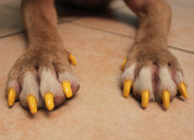 Bright orange solid nails for dogs