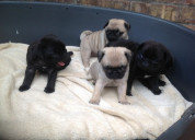 Pug puppies for sale, pug puppy for sale
