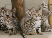 Serval, caracal, savannah, bengal kittens for sale
