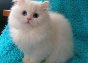 Cats for sale online in chandigarh delhi
