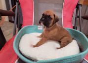 Male/female boxer puppies for sale