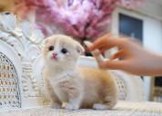 Standard munchkin kittens for sale