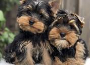 Lisa benson yorkie puppies for sale