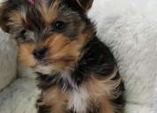 Lisa benson yorkies - purebred tiny yorkie puppies