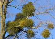 Can mistletoe help treat cancer?