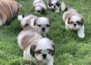 Healthy shih tzu male and female puppies ready