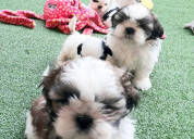 Kci shih tzu male and female puppies for sale