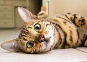 Bengal kitten for sale,savannah kitten for sale,se
