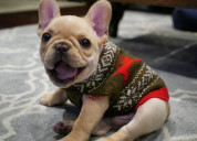 High quality french bull dog puppies for sale
