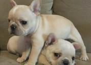 Pure breed pedigreed french bulldog puppies for sa