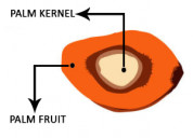 Looking for palm kernel stearin and olein processi